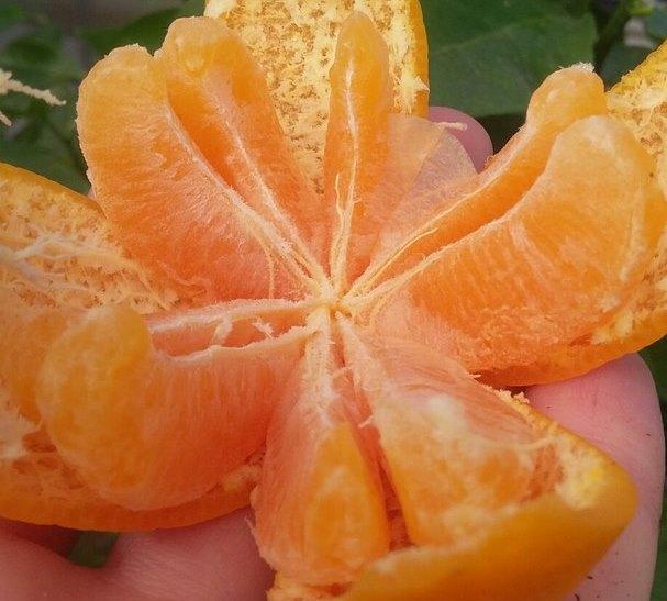 Павловский мандарин плод