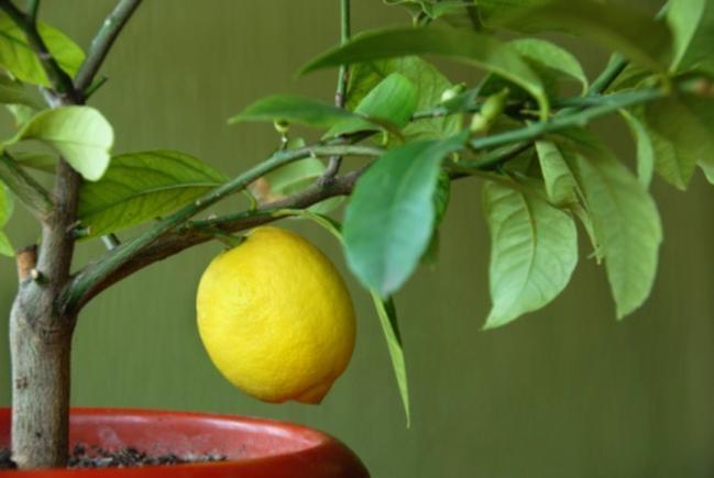 Лимон с желтым плодом