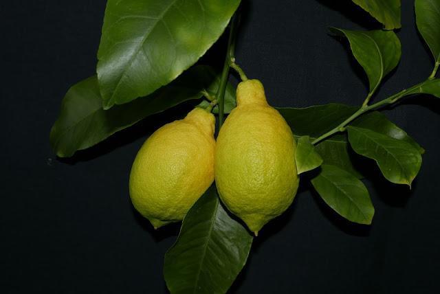 Павловский лимон овальный плод