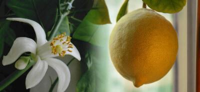Форма плода Павловского лимона