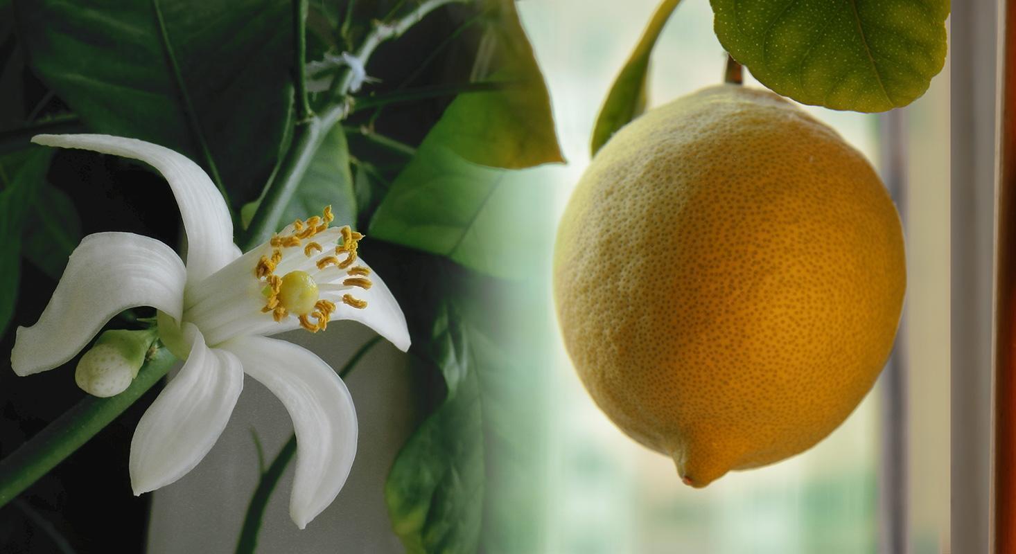 Павловский лимон описание сорта
