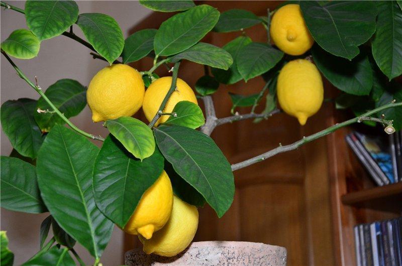 Павловский лимон плоды, фото