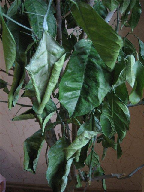 Листья лимона при недостатке полива