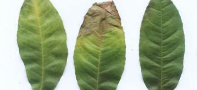 Не правильный уход по листьям лимона фото