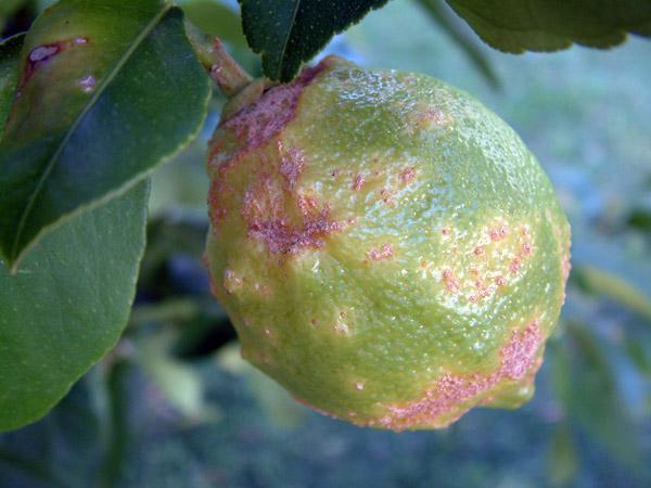 Опадают плоды лимона