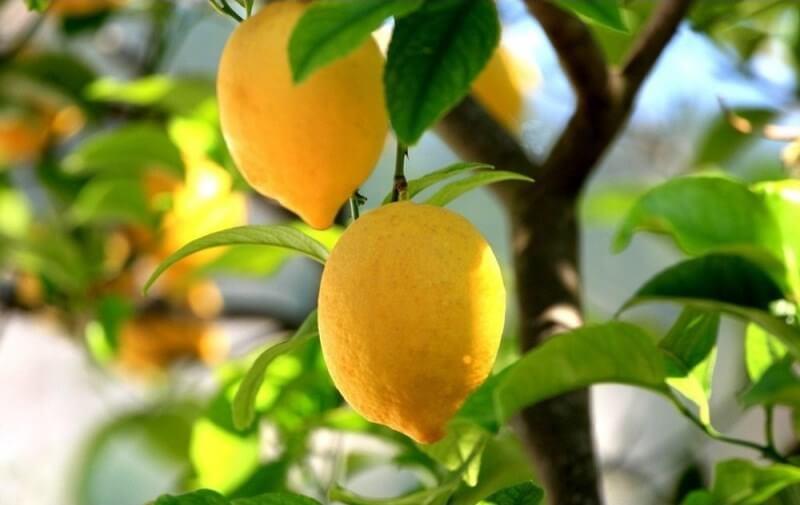 как приготовить золу для полива лимона