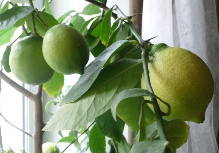 Колючки Павловского лимона