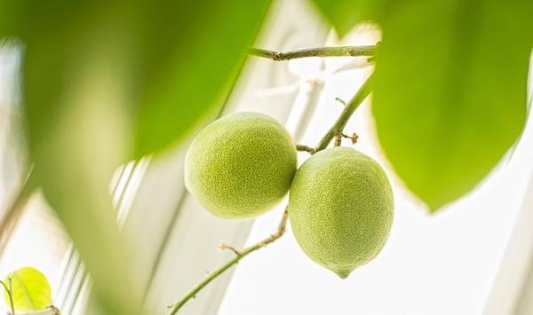 Признаки Павловского лимона