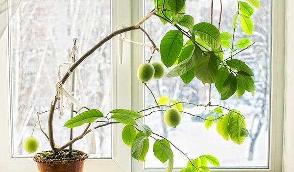 Павловский лимон на подоконнике зимой