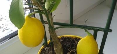 Вредители в цветочном горшке у лимона