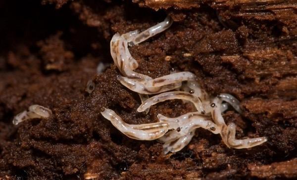 Личинки сциариды или почвенного комарика очень прожорливы и если во время нбеременности принять меры, то они могут насести существенный урон корням