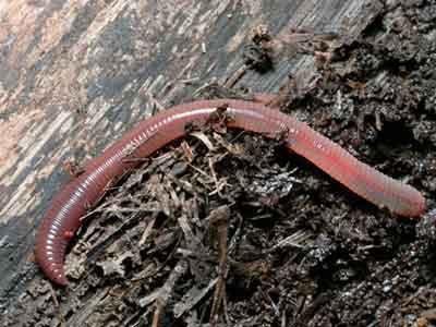 Дождевой червь в горшке цветка
