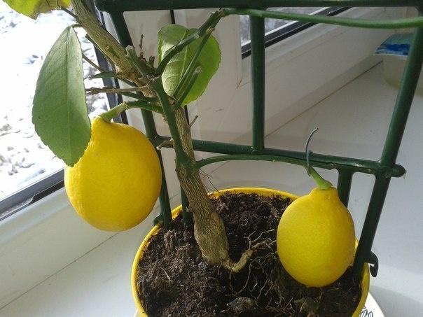 Тля на лимоне как избавиться