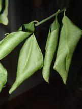 Молодые листья от недостатка бора скручиваются, как в случае отсутствия полива