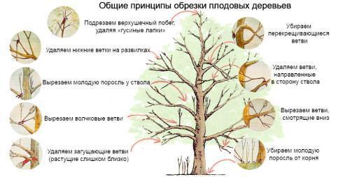 Формирование плодового дерева