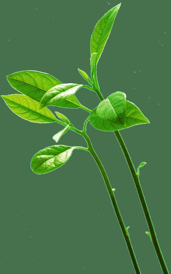 Почему могут вытягиваться комнатные растения, Pavlovolimon