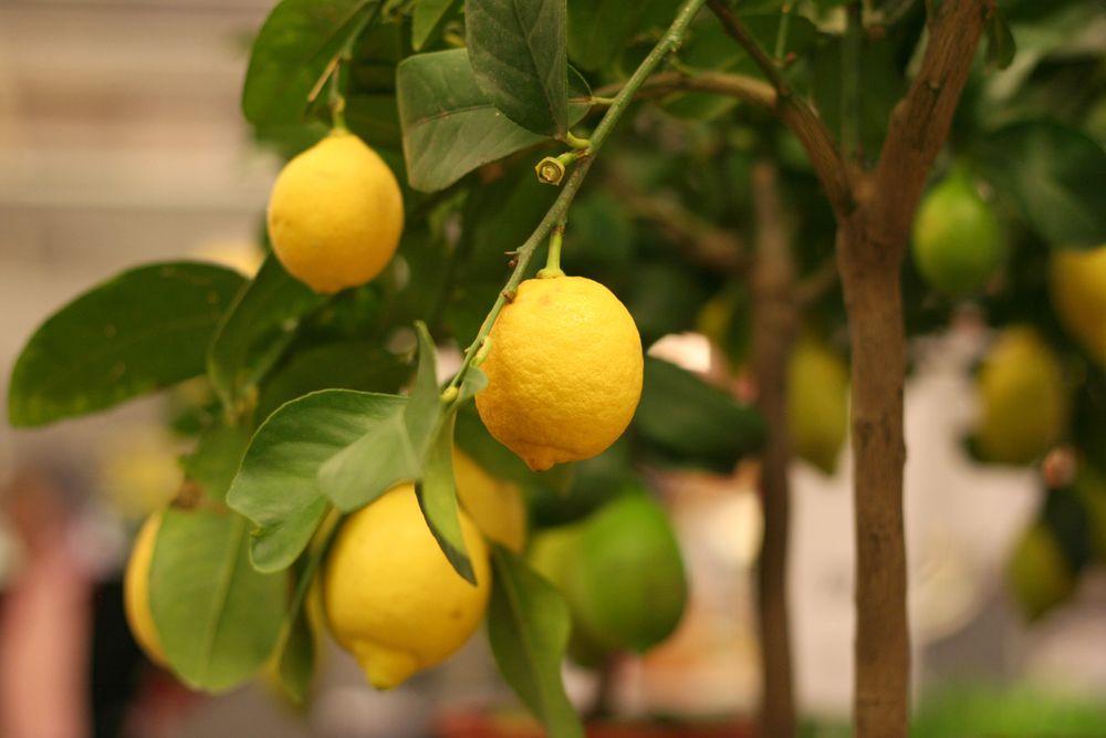 Пусть выш домашний лимон всегда будет здоровым и радует вас хорошим урожаем