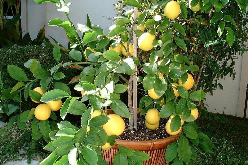 Лимон Мейера с плодами фото