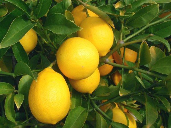 Лимон Мейра фото