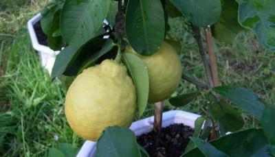 Плоды лимона Пандероза фото