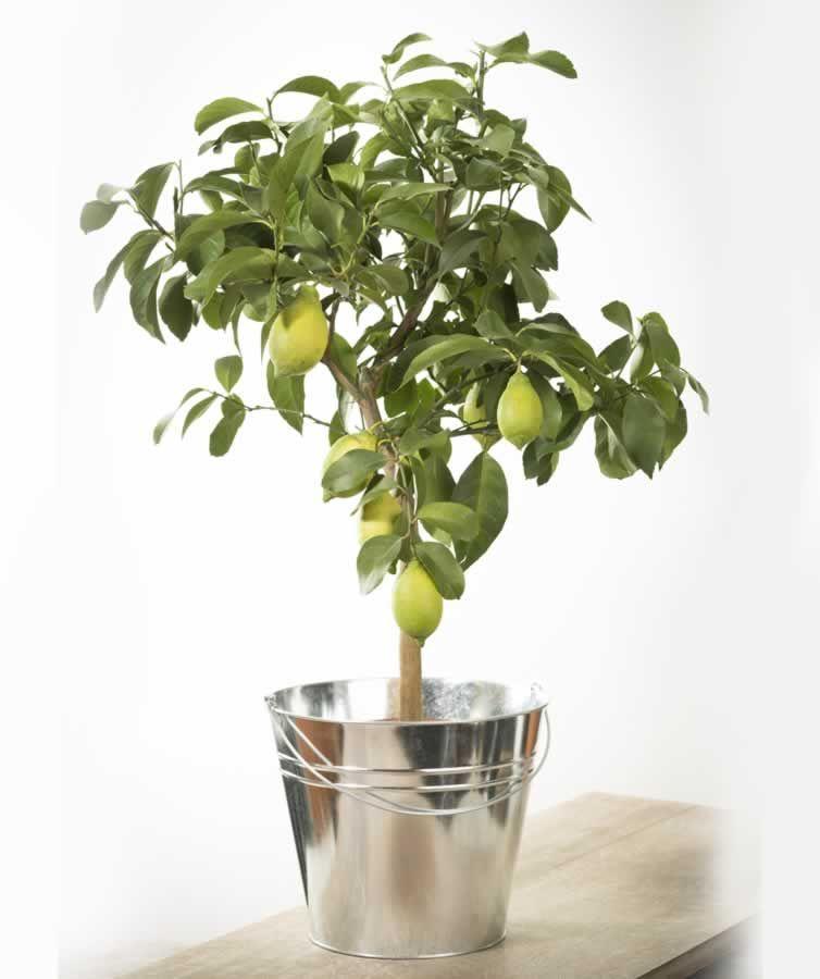 Дерево лимона в горшке фото