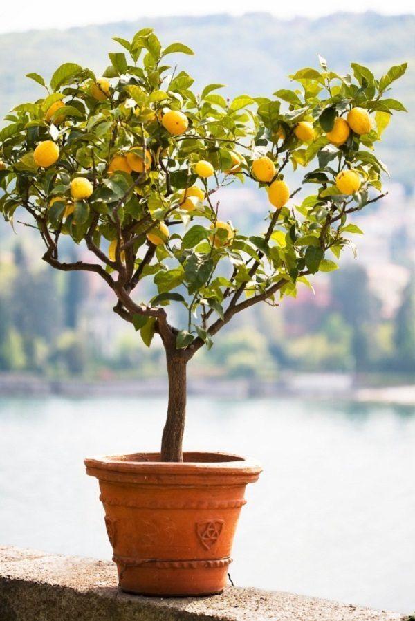 Домашний лимон на улице