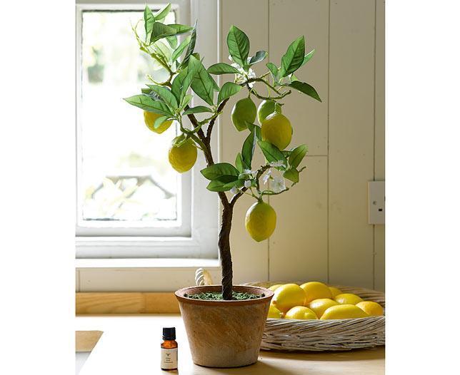 Лимонное дерево и эфирное масло