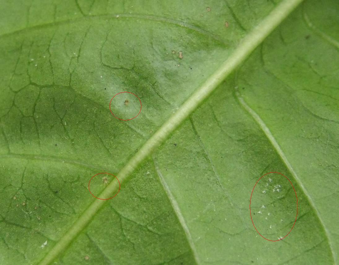 Лист с паутинным клещем