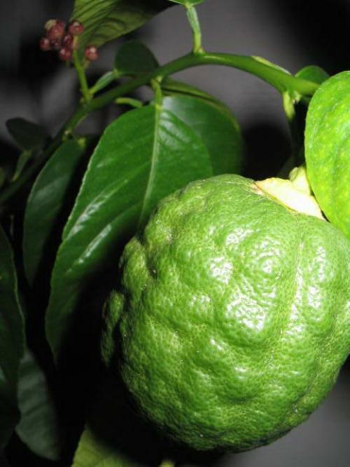 Шишкан павловский зеленый плод фото