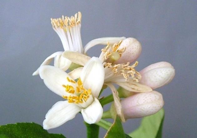 Павловский цитрон цветет фото