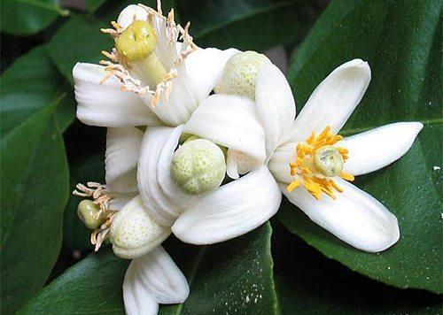 Цветение цитрусовых