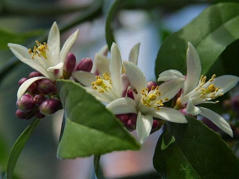 Цветет цитрус