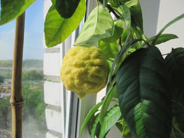 Фотография Павловского цитрона на окне