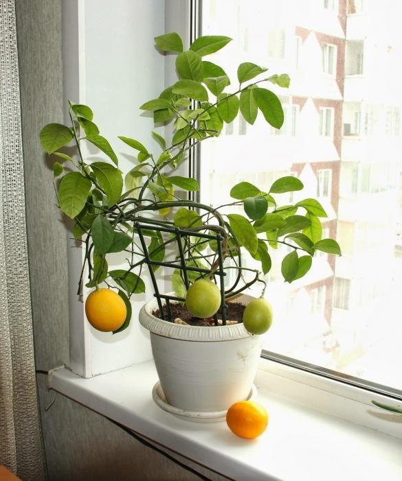 Комнатный лимон фото