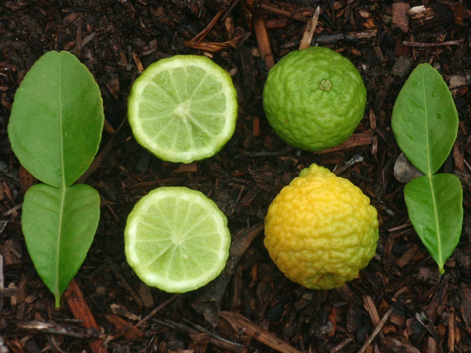 Плоды и листья кафрского лайма