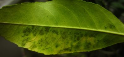 Грибок на листе лимона