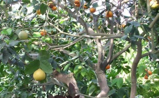 Цитрусовое дерево-сад