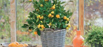Лечение и реанимация лимона