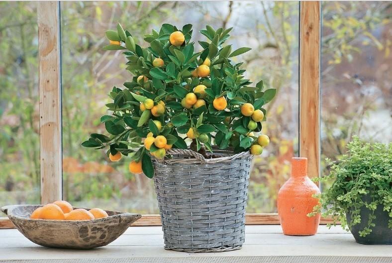 Почему у комнатного лимона скручиваются листья — О цветах