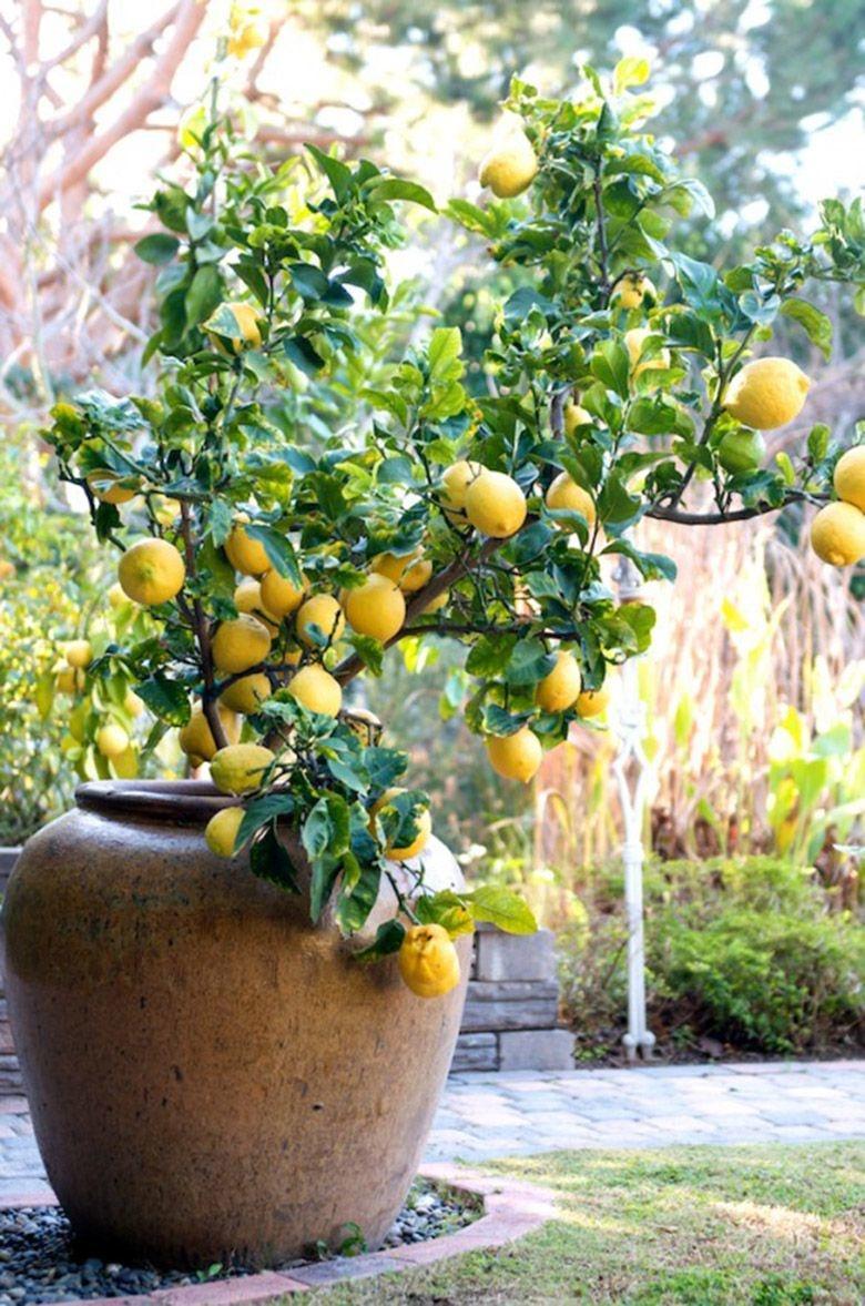 Лимон на улице фото