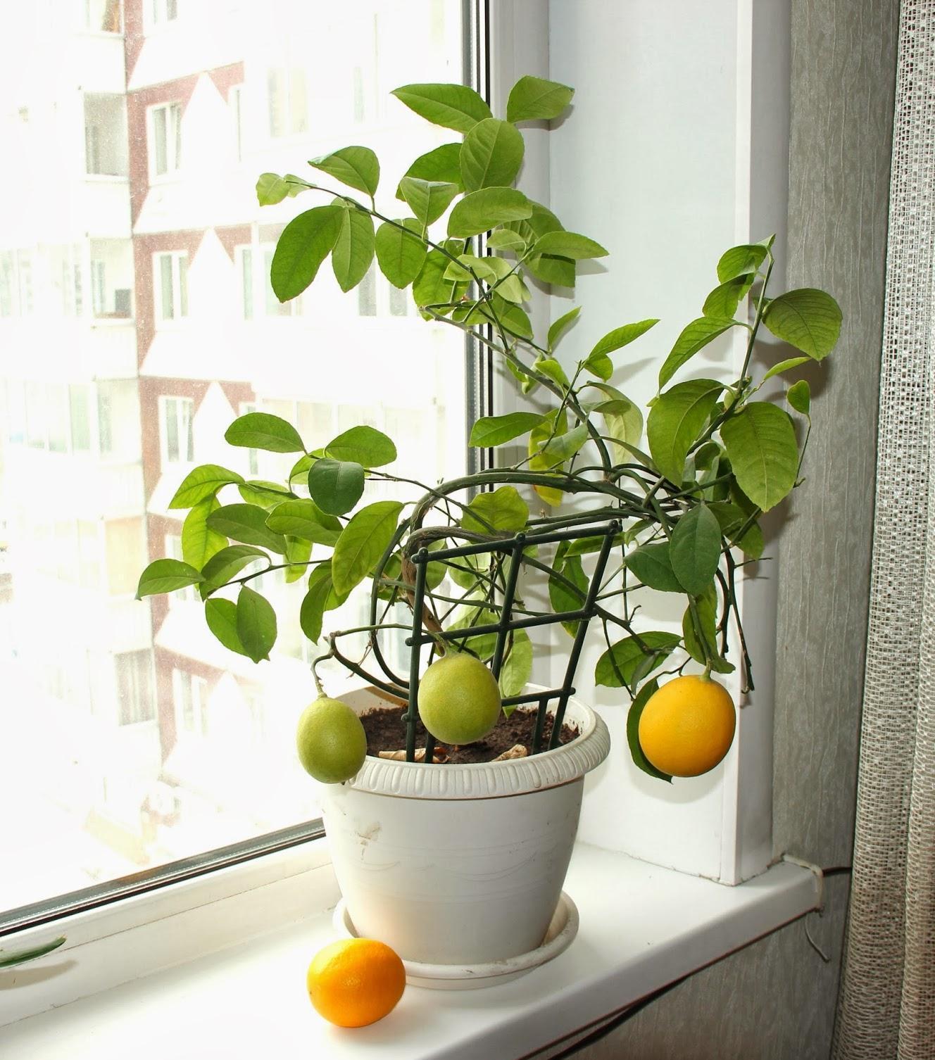 Здоровый лимон на окне