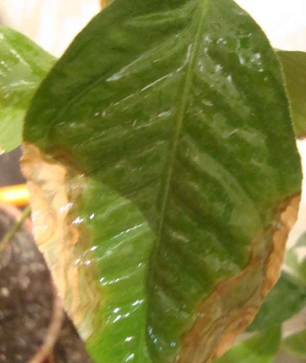 Лист лимона при заливе корней
