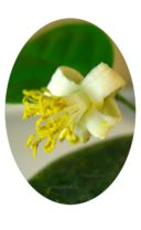 Пандероза лимон цветет