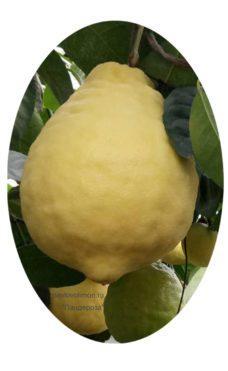 Лимон Пандероза плод фото