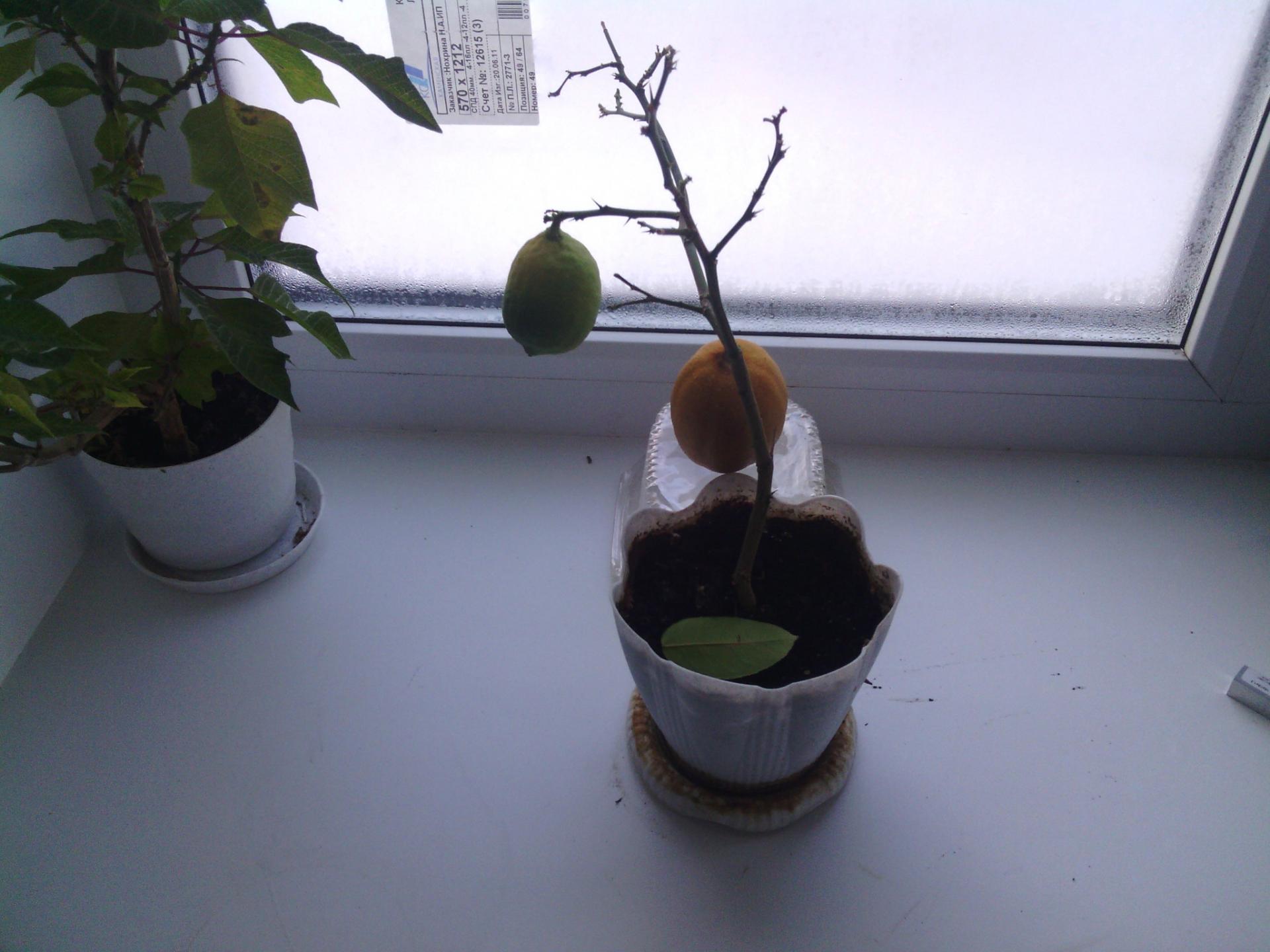 Лимон без листьев