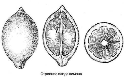Плод лимона и его строение