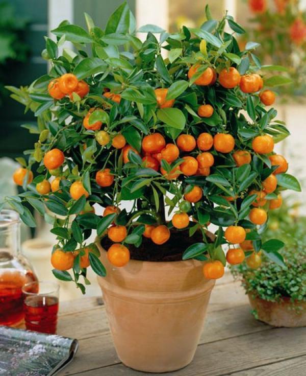 Уход за цитрусовым растением