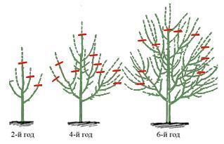 Формирование кроны плодового растения