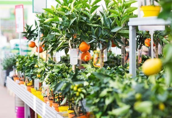Цитрусовые растения фото