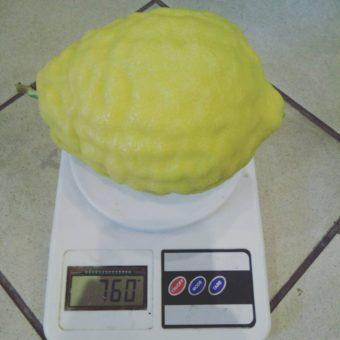 Пандероза лимон на весах